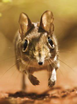 Les macs de la mignonnitude du règne animal Sengi-735095