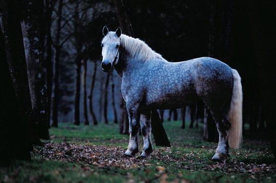 Cheval : Les différentes races existantes au Moyen Age Cheval-percheron-228334