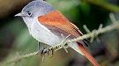 لهواة بجاون /الطيور Oiseau-reunion2