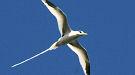 لهواة بجاون /الطيور Oiseau-reunion3