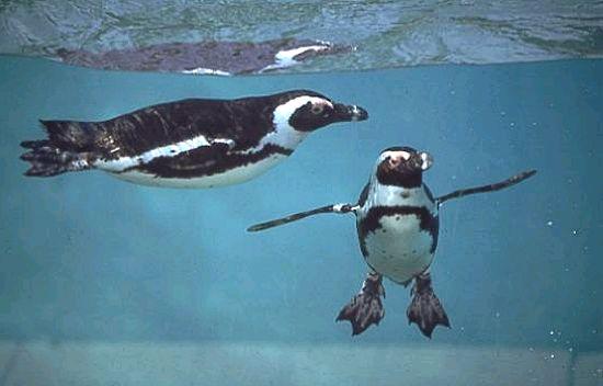 Le Zodiarc-en-ciel Pingouin1