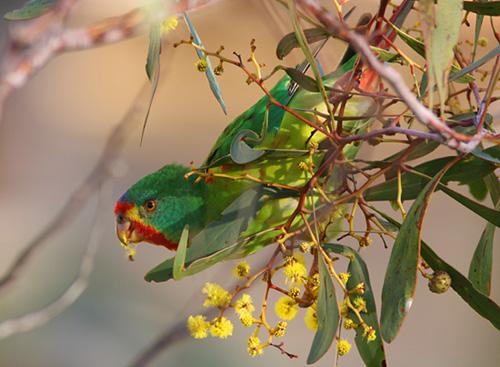 Lastavičasti papagaj (Lathamus discolor) Swiftie2