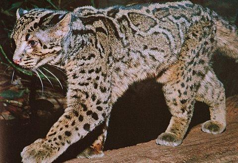 Gato Jaspeado (Pardofelis marmorata) Marbled_cat_pic