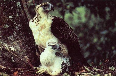 Falconiformes. Família  Acciptridae - Subfamília Buteonidade-Águias coroadas - gênero Pitecophaga jefferyi . Águia das Filipinas. Philippine_eagle