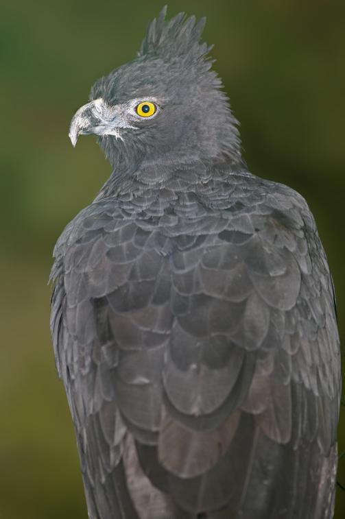 Falconiformes. Família  Acciptridae - Subfamília Buteonidade- Gaviões de penacho. genêro SPIZAETUS Spizaetus_isidori