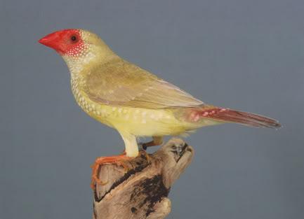 un oiseau - blucat - 30 octobre trouvé par martine BinsenAstrildeBruin02PvdH