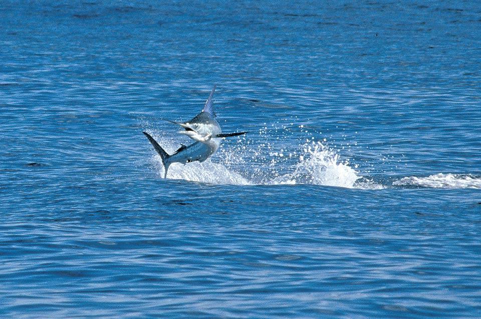 La Pesca Marlin por José Manuel López Pinto - Actualizado al 2 de Enero, 2013 Blue_marlin_cabo_087_r2