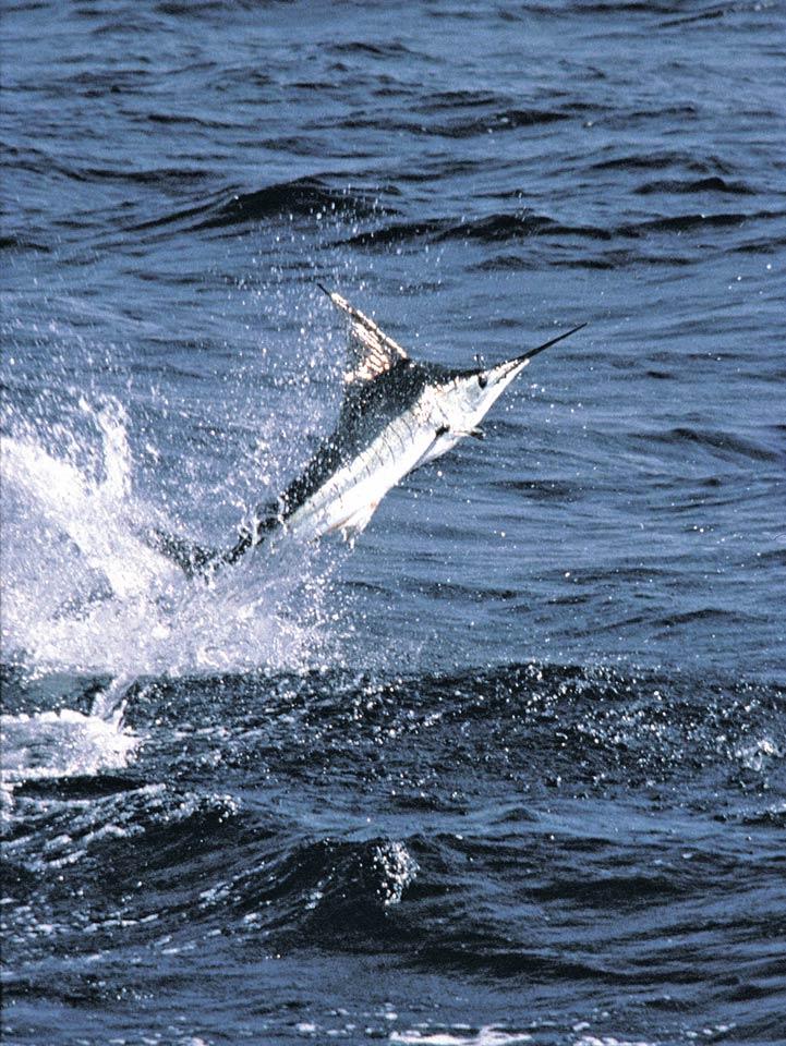 La Pesca Marlin por José Manuel López Pinto - Actualizado al 2 de Enero, 2013 Jumping_marlin_308_047_r2