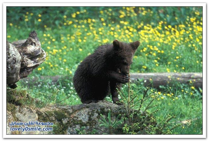 صور أنواع الدببة حول العالم Bears-61