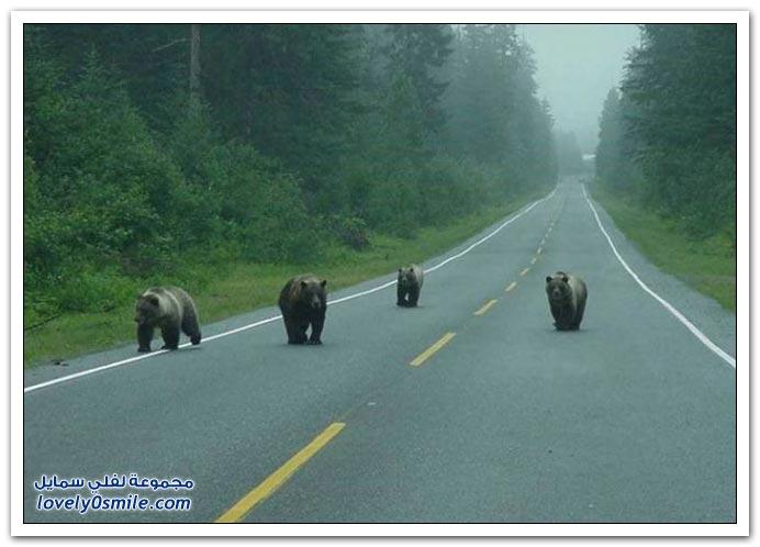 صور أنواع الدببة حول العالم Bears-71