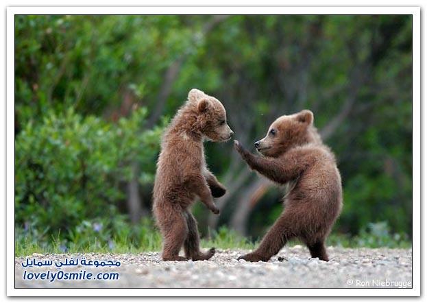 صور أنواع الدببة حول العالم Bears-77