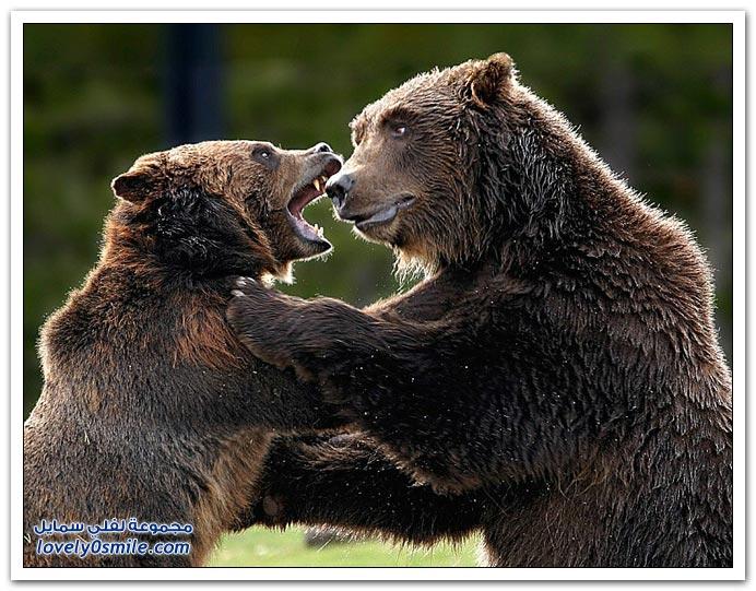 صور أنواع الدببة حول العالم Bears-79