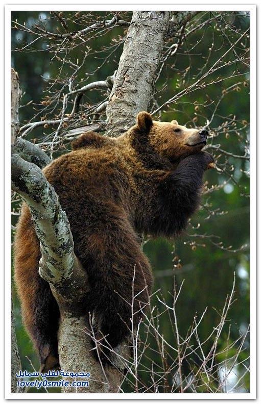 صور أنواع الدببة حول العالم Bears-91