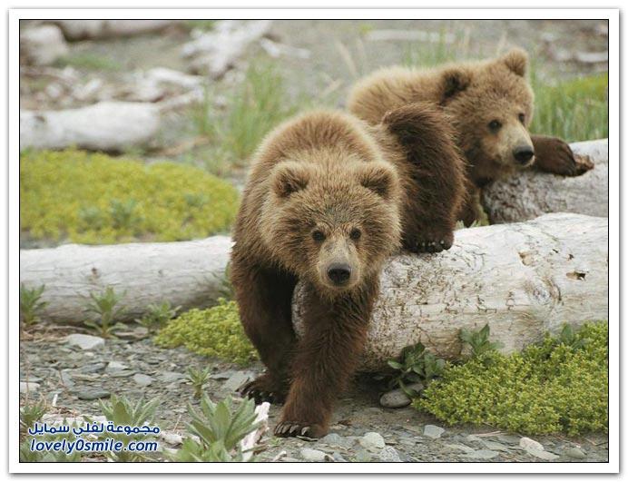 صور أنواع الدببة حول العالم Bears-94