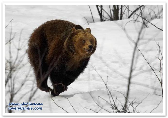 صور أنواع الدببة حول العالم Bears-97