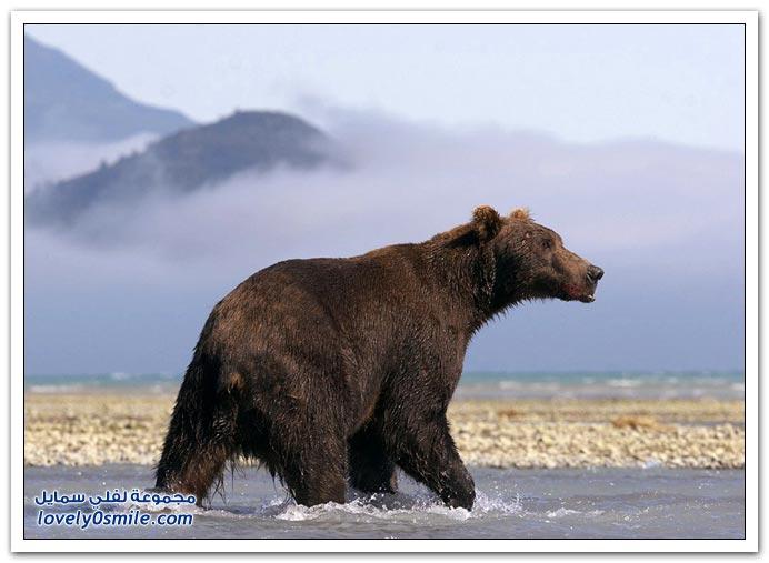 صور أنواع الدببة حول العالم Bears-99