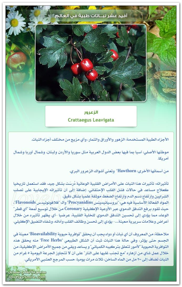 افيد عشر ة نباتات فى العالم (4- الزعرور) TopUsefulMedicinalPlants-04