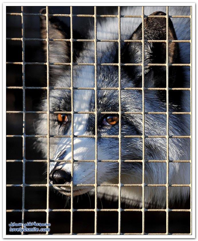 فرو الذئاب Wolf-fur-03