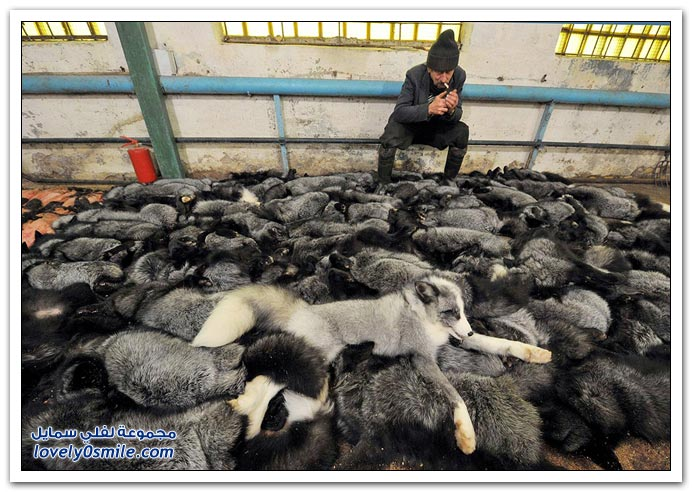 فرو الذئاب Wolf-fur-06