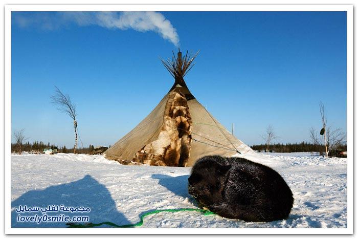 مخيم الغزلان في التندرا في القطبية الشمالية Deer-camp-in-the-Arctic-tundra-04