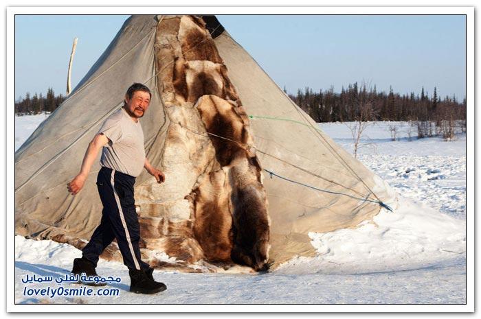 مخيم الغزلان في التندرا في القطبية الشمالية Deer-camp-in-the-Arctic-tundra-05