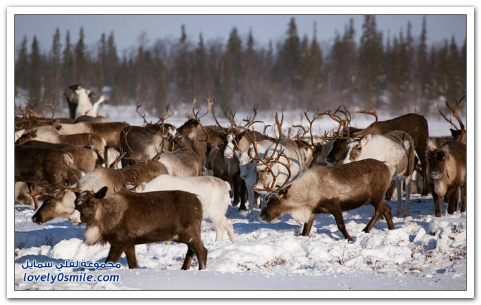 مخيم الغزلان في التندرا في القطبية الشمالية Deer-camp-in-the-Arctic-tundra-06