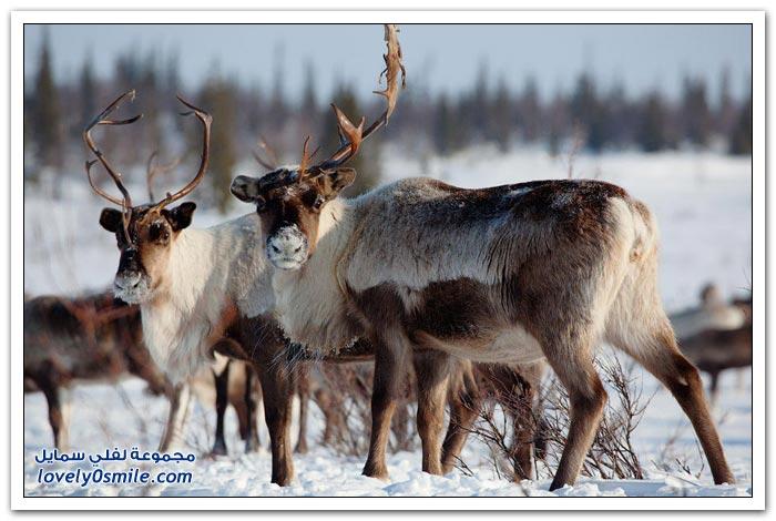 مخيم الغزلان في التندرا في القطبية الشمالية Deer-camp-in-the-Arctic-tundra-07