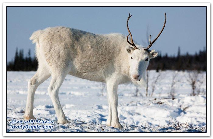 مخيم الغزلان في التندرا في القطبية الشمالية Deer-camp-in-the-Arctic-tundra-08