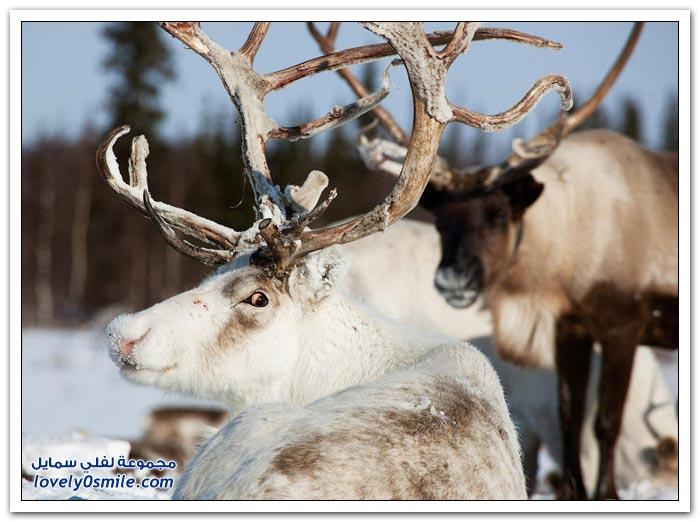 مخيم الغزلان في التندرا في القطبية الشمالية Deer-camp-in-the-Arctic-tundra-10
