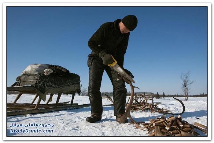مخيم الغزلان في التندرا في القطبية الشمالية Deer-camp-in-the-Arctic-tundra-11