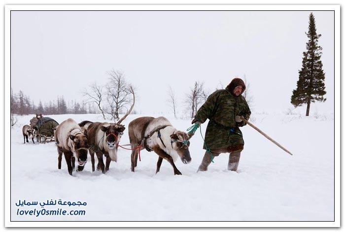 مخيم الغزلان في التندرا في القطبية الشمالية Deer-camp-in-the-Arctic-tundra-17