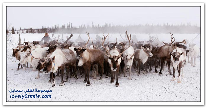 مخيم الغزلان في التندرا في القطبية الشمالية Deer-camp-in-the-Arctic-tundra-18