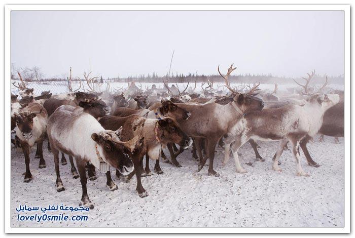 مخيم الغزلان في التندرا في القطبية الشمالية Deer-camp-in-the-Arctic-tundra-19