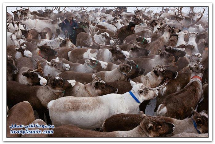 مخيم الغزلان في التندرا في القطبية الشمالية Deer-camp-in-the-Arctic-tundra-20