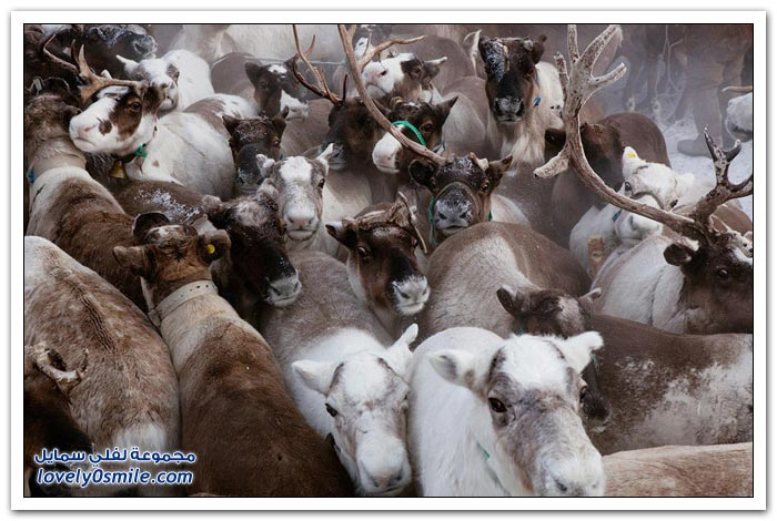 مخيم الغزلان في التندرا في القطبية الشمالية Deer-camp-in-the-Arctic-tundra-21