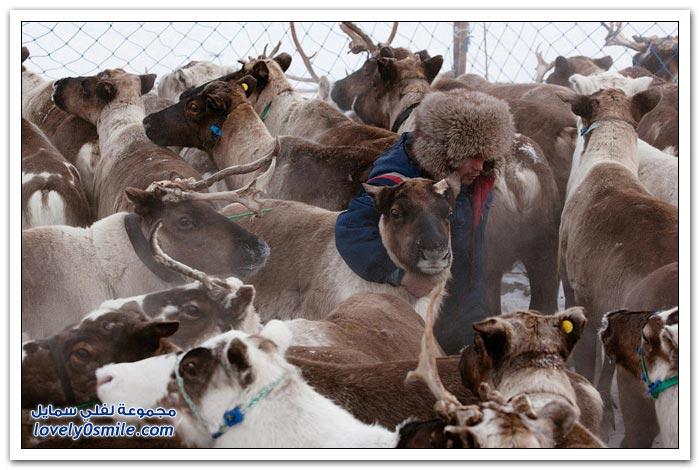 مخيم الغزلان في التندرا في القطبية الشمالية Deer-camp-in-the-Arctic-tundra-22