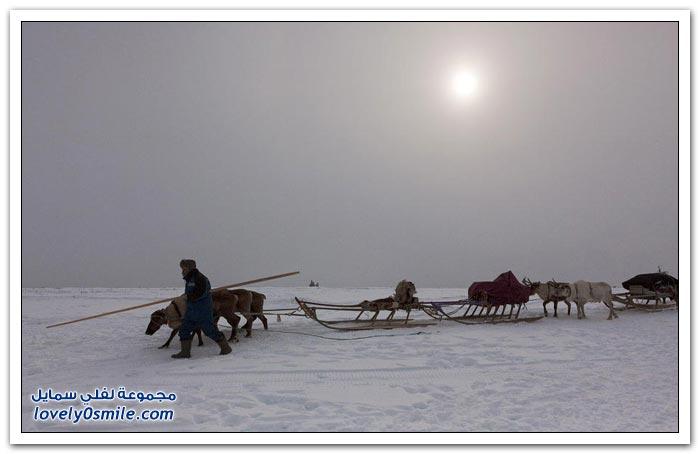 مخيم الغزلان في التندرا في القطبية الشمالية Deer-camp-in-the-Arctic-tundra-23