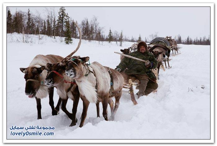 مخيم الغزلان في التندرا في القطبية الشمالية Deer-camp-in-the-Arctic-tundra-24