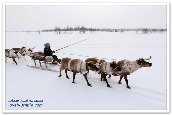 مخيم الغزلان في التندرا في القطبية الشمالية Deer-camp-in-the-Arctic-tundra-25