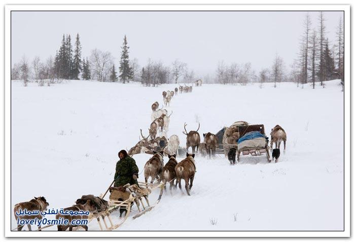 مخيم الغزلان في التندرا في القطبية الشمالية Deer-camp-in-the-Arctic-tundra-26