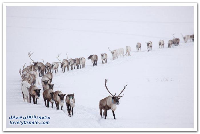 مخيم الغزلان في التندرا في القطبية الشمالية Deer-camp-in-the-Arctic-tundra-27