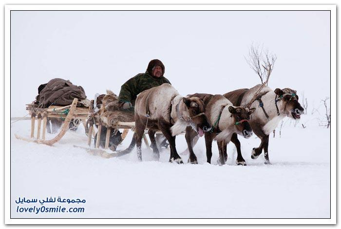 مخيم الغزلان في التندرا في القطبية الشمالية Deer-camp-in-the-Arctic-tundra-28