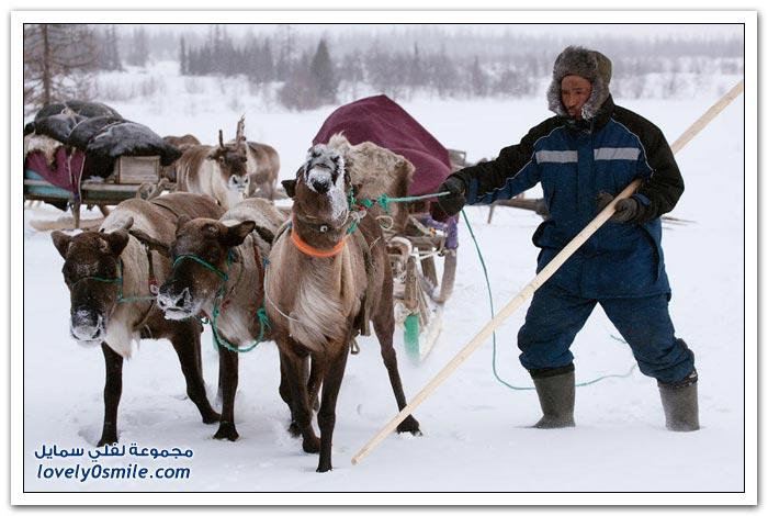مخيم الغزلان في التندرا في القطبية الشمالية Deer-camp-in-the-Arctic-tundra-29