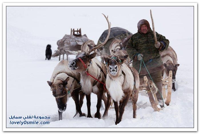 مخيم الغزلان في التندرا في القطبية الشمالية Deer-camp-in-the-Arctic-tundra-30