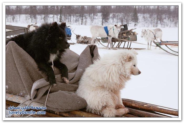 مخيم الغزلان في التندرا في القطبية الشمالية Deer-camp-in-the-Arctic-tundra-31