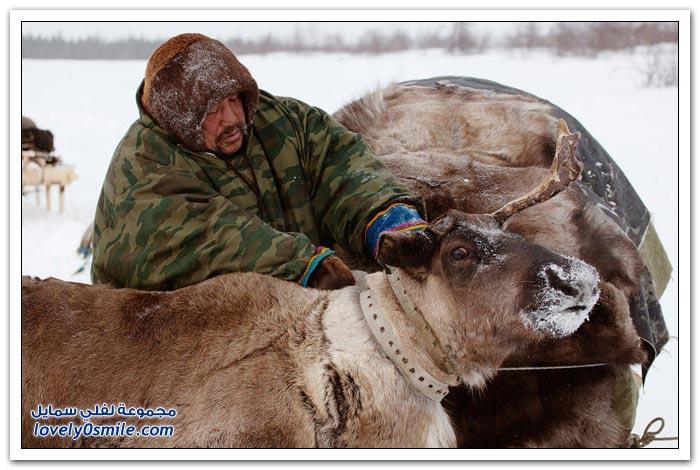 مخيم الغزلان في التندرا في القطبية الشمالية Deer-camp-in-the-Arctic-tundra-32