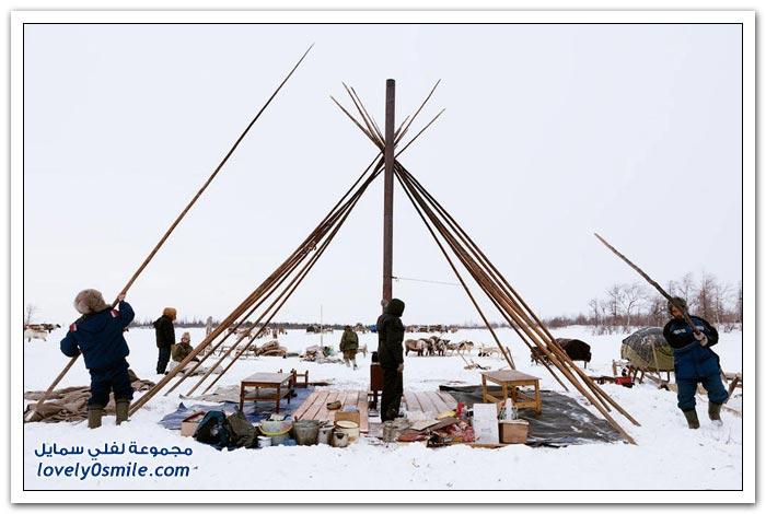 مخيم الغزلان في التندرا في القطبية الشمالية Deer-camp-in-the-Arctic-tundra-33