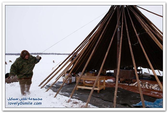 مخيم الغزلان في التندرا في القطبية الشمالية Deer-camp-in-the-Arctic-tundra-34