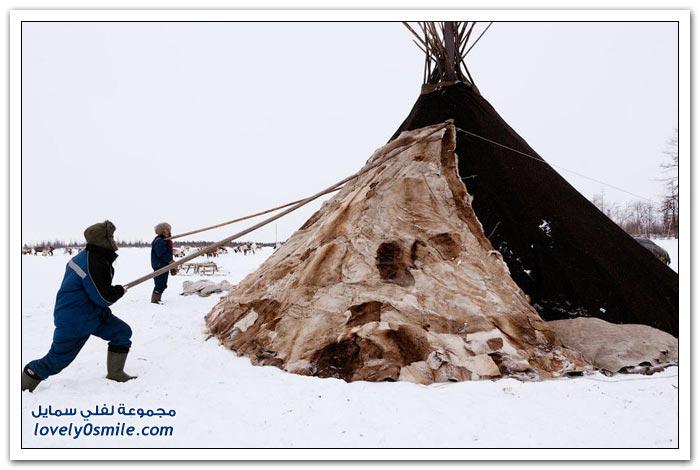مخيم الغزلان في التندرا في القطبية الشمالية Deer-camp-in-the-Arctic-tundra-35