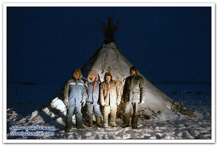 مخيم الغزلان في التندرا في القطبية الشمالية Deer-camp-in-the-Arctic-tundra-36